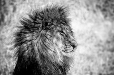 The Lion BW