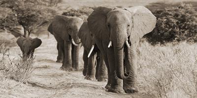 Fotokunst olifanten 160x80 cm