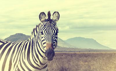 Fotokunst vintage zebra