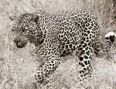 Fotokunst luipaard