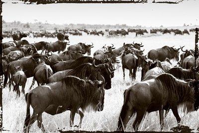 Bison's migrate