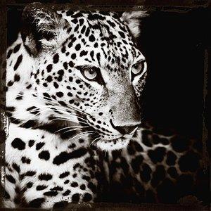 Leopards gaze