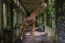 Big-in-the-building-Fotokunst-gebouw-giraffe