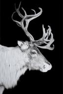 Reindeer-Fotokunst-rendier