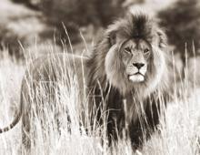 Fotokunst--leeuw