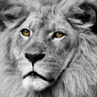 Fotokunst-leeuw