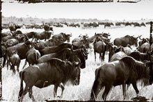 Bisons-migrate