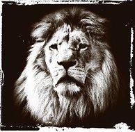 Lions-gaze
