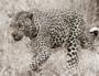 Fotokunst luipaard_8